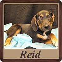 Adopt A Pet :: Reid Adoption pending - East Hartford, CT