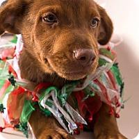 Adopt A Pet :: Sheba - Carteret/Eatontown, NJ