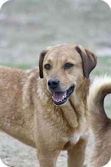 Golden Retriever Mix Dog for adoption in Poland, Indiana - Fannie