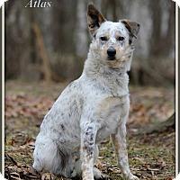 Adopt A Pet :: Atlas - Dixon, KY