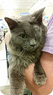 Domestic Mediumhair Cat for adoption in Chattanooga, Tennessee - Hank