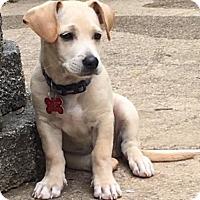 Adopt A Pet :: Agatha's Pup Cameo - Potomac, MD