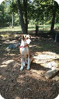 Catahoula Leopard Dog/Hound (Unknown Type) Mix Dog for adoption in Russellville, Kentucky - Frankie