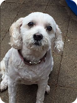 Poodle (Miniature) Mix Dog for adoption in St Helena, California - Bailey
