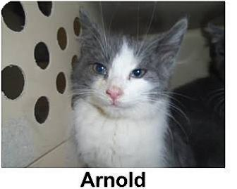 Domestic Shorthair Kitten for adoption in THORNHILL, Ontario - Arnold