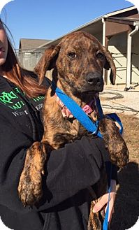 Plott Hound/Hound (Unknown Type) Mix Puppy for adoption in Beacon, New York - Esse