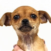 Adopt A Pet :: Fizziwig - College Station, TX