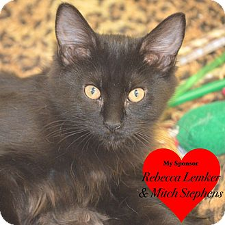 Domestic Mediumhair Kitten for adoption in San Leon, Texas - Elizabeth
