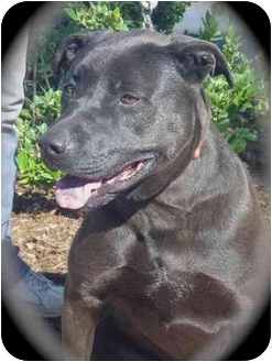 American Staffordshire Terrier/Labrador Retriever Mix Dog for adoption in Anaheim, California - Molly