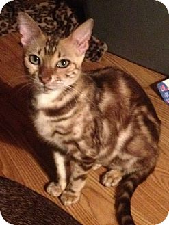 Bengal Cat for adoption in Lantana, Florida - Periwinkle