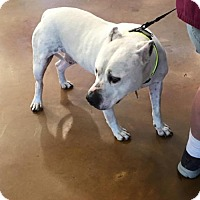 American Pit Bull Terrier Dog for adoption in Georgetow, Texas - Waldo