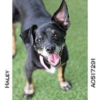 Beagle/Dachshund Mix Dog for adoption in Creston, California - Haley