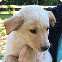 Adopt A Pet :: Lilith- mom is purebred Golden - Pewaukee, WI