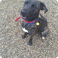 Adopt A Pet :: Indigo - Cleveland, OH