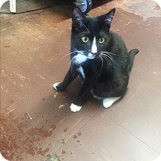 Domestic Shorthair Cat for adoption in Chico, California - Joseph