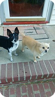Chihuahua/Terrier (Unknown Type, Small) Mix Dog for adoption in Indianapolis, Indiana - Katie