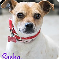 Adopt A Pet :: Sasha - Canyon Country, CA
