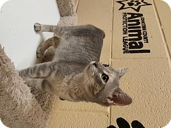 Domestic Shorthair Kitten for adoption in Smithfield, North Carolina - Rey