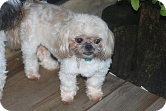 Shih Tzu Dog for adoption in Jacksonville, Florida - Kiara