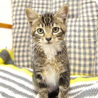Domestic Shorthair Kitten for adoption in Sheridan, Wyoming - Aria