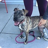 Pit Bull Terrier/Labrador Retriever Mix Dog for adoption in Seattle, Washington - Eva