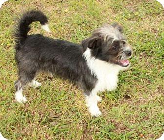 Shih Tzu/Chihuahua Mix Puppy for adoption in Washington, D.C. - Will