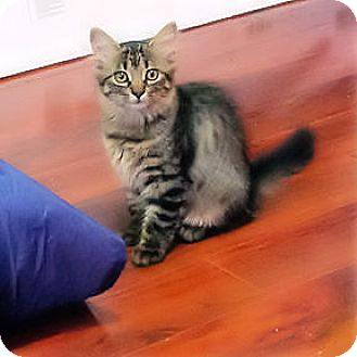 Domestic Shorthair Kitten for adoption in Verdun, Quebec - Georgia