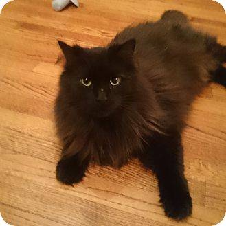 Maine Coon Cat for adoption in Toronto, Ontario - Thor