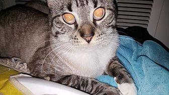 Siamese Cat for adoption in Austin, Texas - PacMan