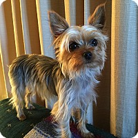 Yorkie, Yorkshire Terrier Dog for adoption in Milwaukee, Wisconsin - Pippi
