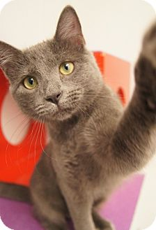 Chartreux Kitten for adoption in Colorado Springs, Colorado - Dove