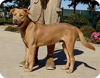 Labrador Retriever Mix Dog for adoption in Lathrop, California - Blue