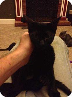 Domestic Shorthair Kitten for adoption in Acworth, Georgia - Delilah