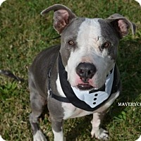 Adopt A Pet :: Maveryck - Independence, MO