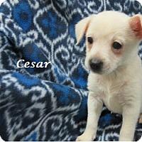 Adopt A Pet :: Cesar - Bartonsville, PA