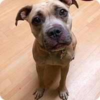 Adopt A Pet :: Covie in CT - Manchester, CT