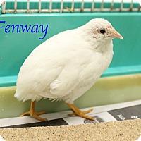 Adopt A Pet :: Fenway - Bradenton, FL
