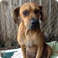 Adopt A Pet :: Boomer - Barnwell, SC
