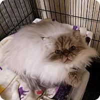 Adopt A Pet :: Cleopatra - Rock Hill, SC
