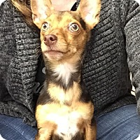 Adopt A Pet :: Loki - Joplin, MO
