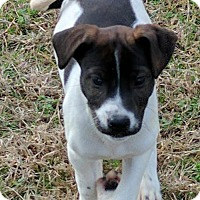 Adopt A Pet :: Indigo 10 week old female puppy - Rowayton, CT