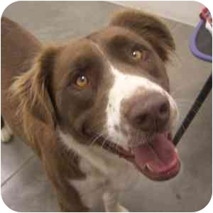 Australian Shepherd Mix Dog for adoption in Phoenix, Arizona - Kenzy