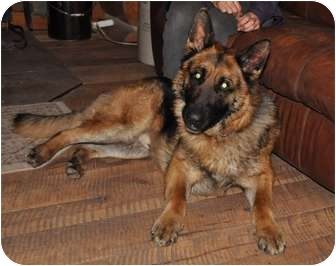 German Shepherd Dog Dog for adoption in Hamilton, Montana - Smokey