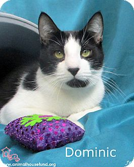 Domestic Shorthair Cat for adoption in St Louis, Missouri - Dominic