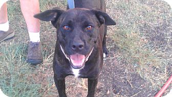 American Pit Bull Terrier/Labrador Retriever Mix Dog for adoption in Eddy, Texas - Lola