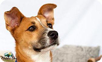Boxer/Collie Mix Dog for adoption in Houston, Texas - Fiona