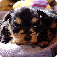 Adopt A Pet :: TONI - Torrance, CA