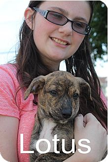 Jack Russell Terrier Mix Puppy for adoption in Homer, New York - Lotus
