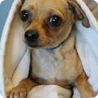 Adopt A Pet :: Sweet Pea Kelsey - Shawnee Mission, KS
