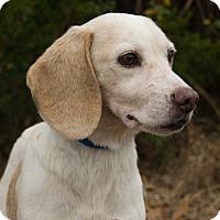 Adopt A Pet :: *Maisy - PENDING - Westport, CT